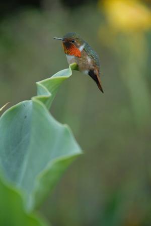 ฮัมมิ่ง นกตัวที่เล็กที่สุดในโลก