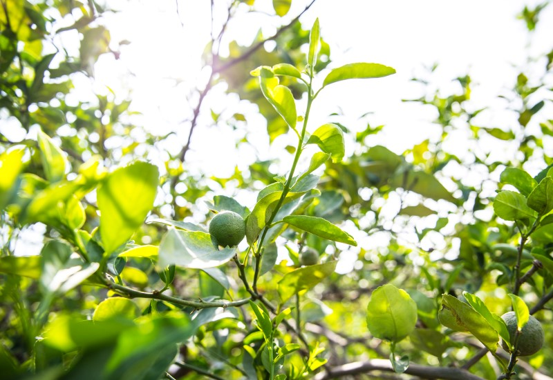 limegarden05