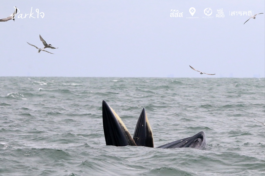 """""""บรูด้า"""" เหล่าวาฬกลางโลกกว้างสีน้ำเงิน"""