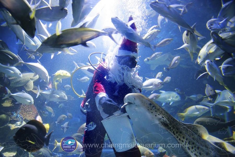 กิจกรรมให้อาหารปลา และการแสดงใต้น้ำ ช่วยดึงดูดนักท่องเที่ยวในช่วงที่ผ่านมา ล่าสุดกิจการอควาเลียมกำลังได้รับผลกระทบจากการแพร่ระบาดของเชื้อไวรัส COVID-19 (ภาพ : chiangmaiaquarium.com)