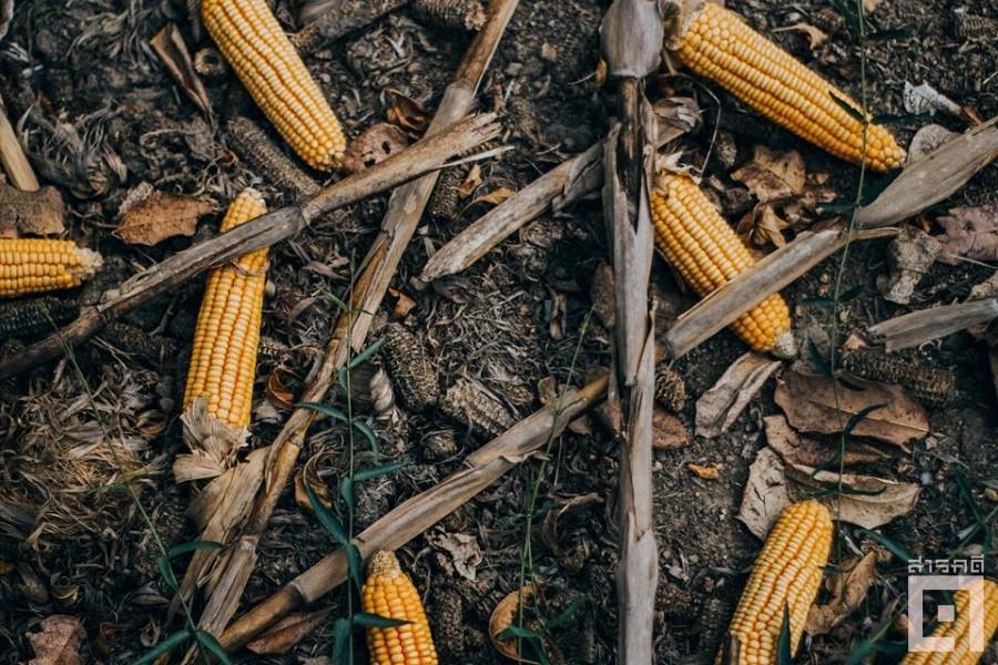 cornfield03