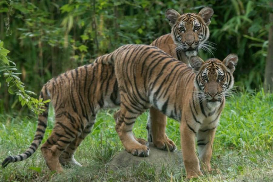 นาเดีย (หน้า) และอะซูล เสือโคร่งมาลายันในสวนสัตว์บรองซ์ นาเดียเป็นเสือโคร่งตัวแรกของโลกที่ตรวจพบเชื้อไวรัส COVID-19 ถ่ายทอดจากคนสู่สัตว์ป่า (ภาพ : Julie Larsen Maher @ WCS)