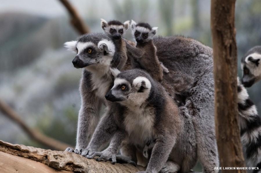 สัตว์ชนิดอื่นๆ ในสวนสัตว์บรองซ์ยังไม่มีการตรวจพบเชื้อไวรัส COVID-19 (ภาพ : Julie Larsen Maher @ WCS)