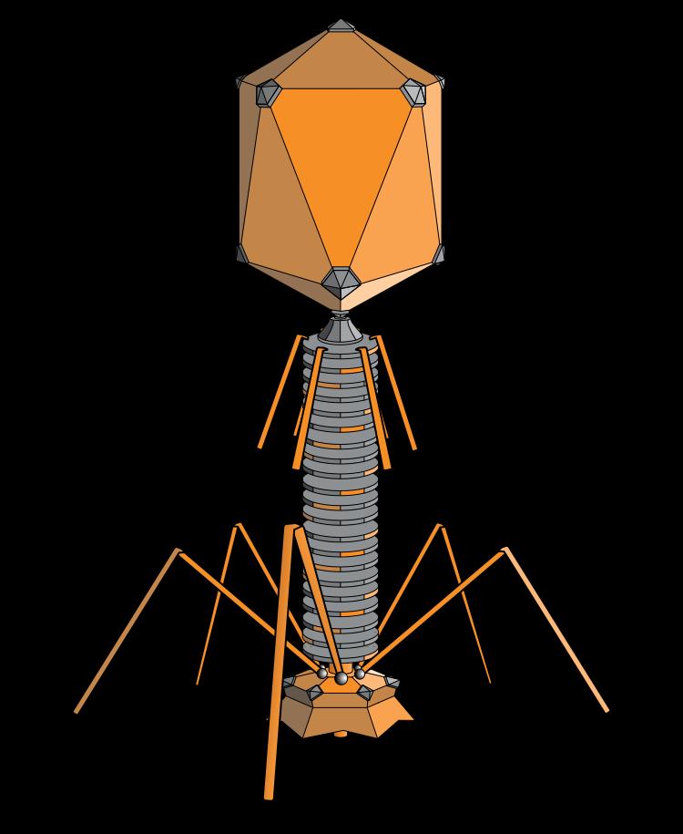 ภาพวาดหน้าตาของเฟจหรือไวรัสรุกรานแบคทีเรีย (ภาพ : wikipedia)