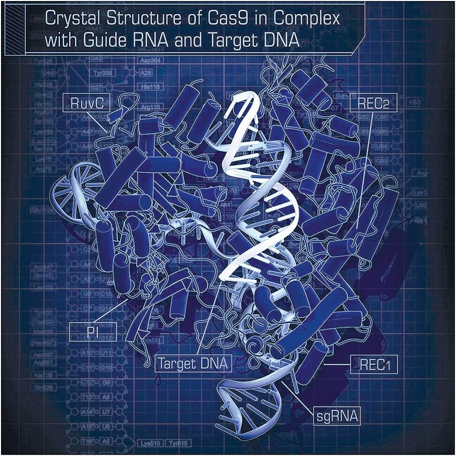 โครงสร้างของเอนไซม์ Cas9 ที่พร้อมทำงาน โดย Nishimasu และคณะ (ภาพ : Wikipedia)