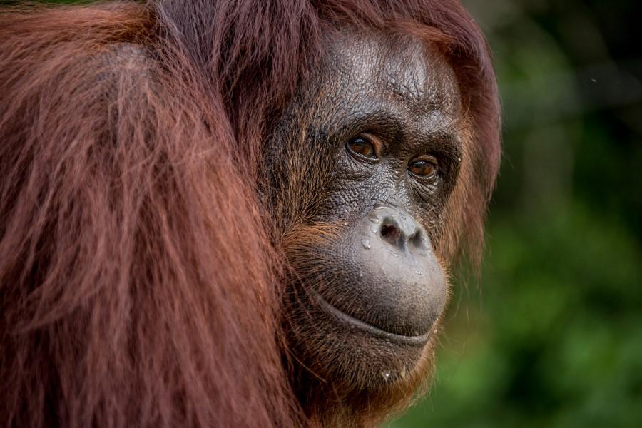 orangutan01