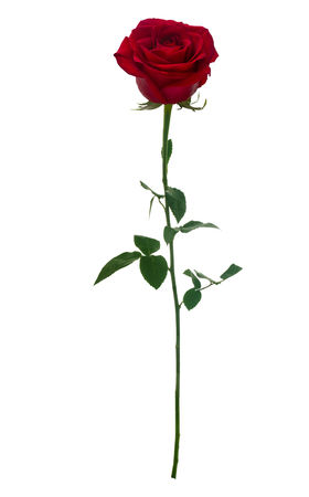 51642254 - dark red rose isolated on white background