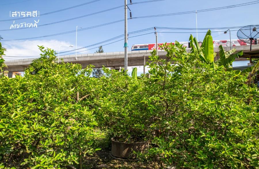 สวนมะนาวลุงจำรัส สุขยั่งยืนบนพื้นซีเมนต์