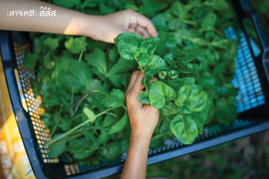 พืชผักสดที่เก็บจากในสวน ปลูกแบบธรรมชาติ ไม่ใช้สารเคมี